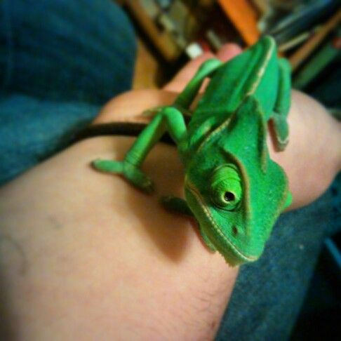 Loving my chameleon. His name is Xavier The Great.