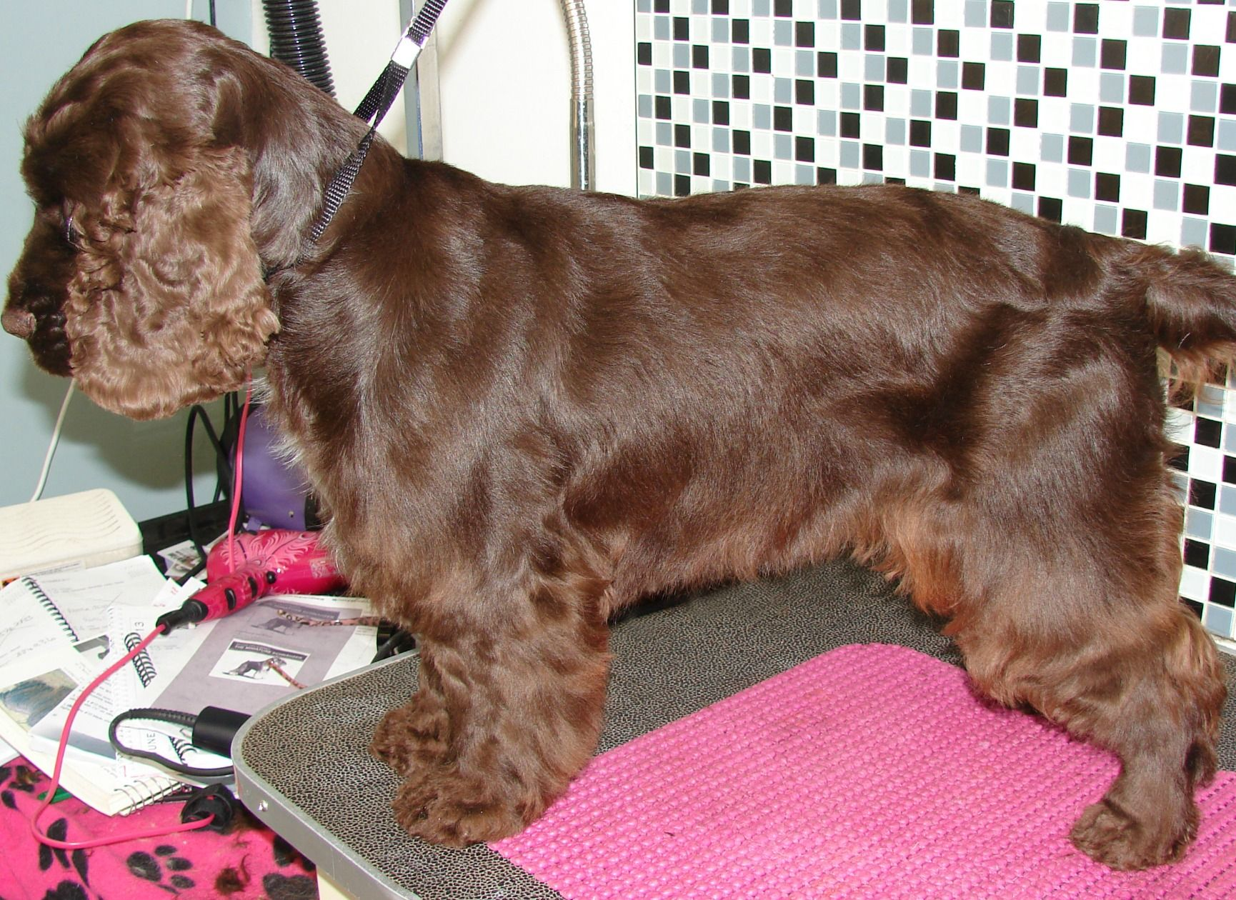Cocker Spaniel Clipped Grooming Style Google Search Cocker Spaniel Haircut Cocker Spaniel Spaniel