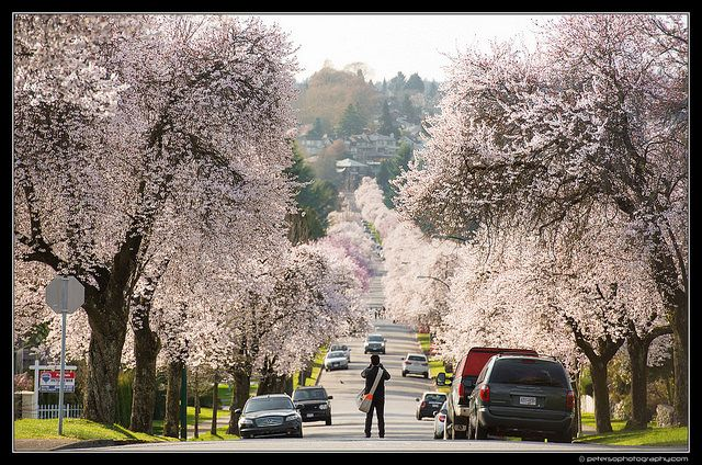 Cherry Blossom Lined Streets Of Vancouver Vancouver How To Take Photos Cherry Blossom