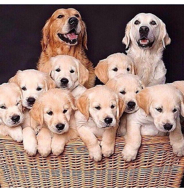 Golden Retriever Puppy Family Puppies Dogs Golden Retriever