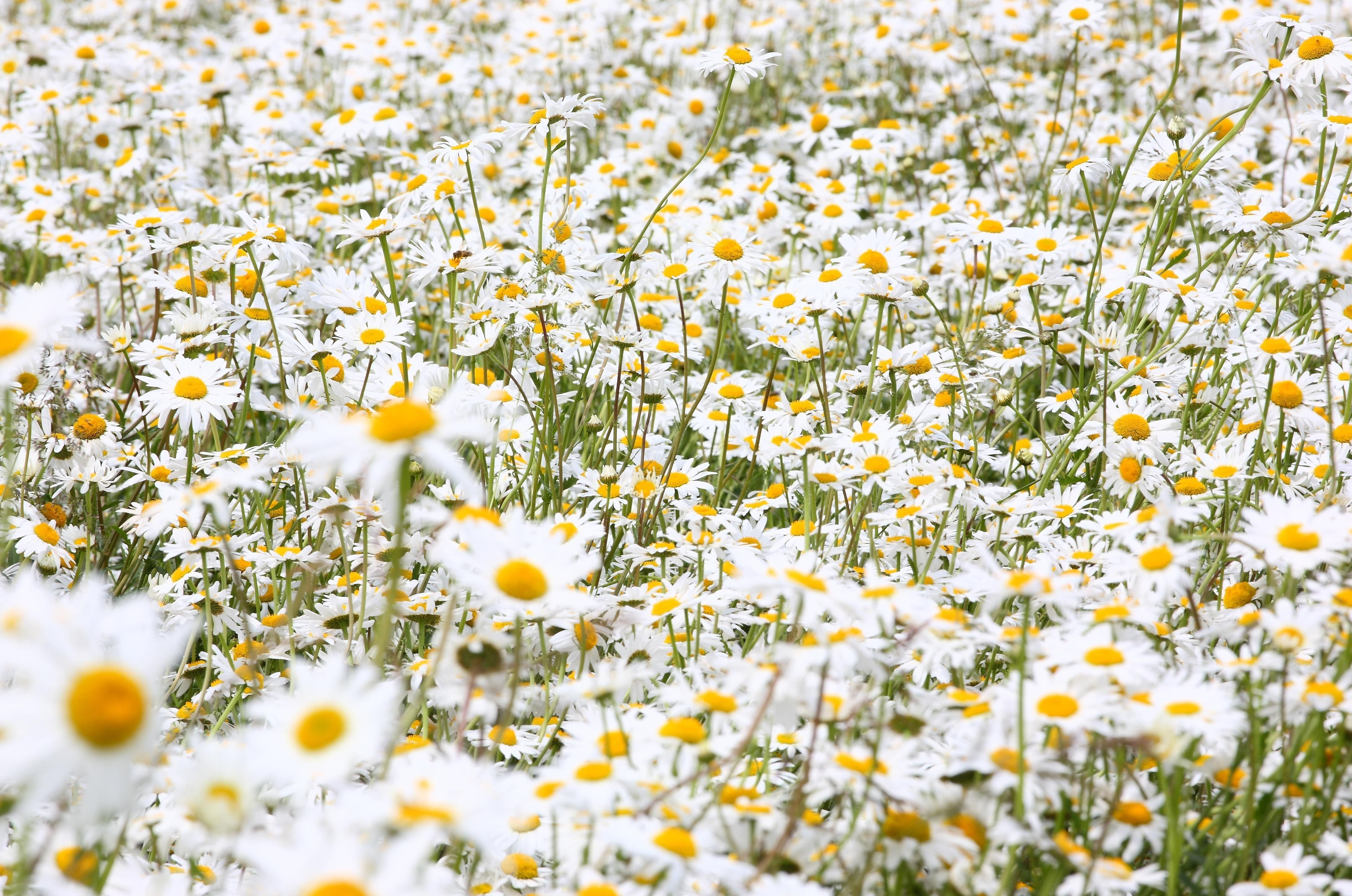 Awesome White Flower Field Amazingpict Wallpapers