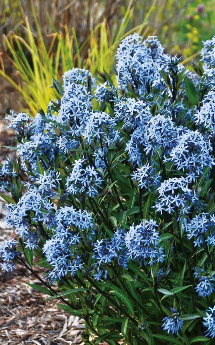 Storm cloud bluestar amsonia tabernaemontana periwinkle blue garden gate izmirmasajfo