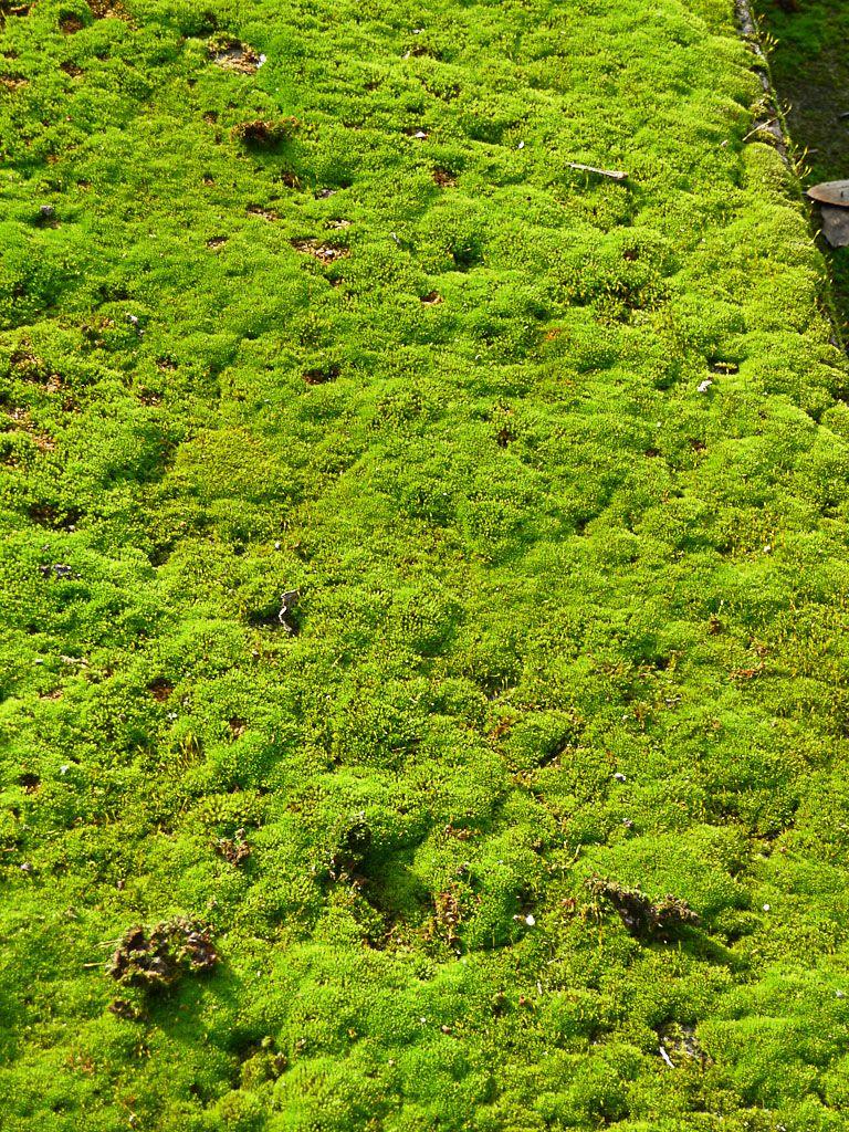 Croissance de mousse sur pinterest jardin de mousse for Mousse pour salon de jardin