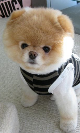 Is This The Cutest Dog In The World Boo The Pomeranian Has