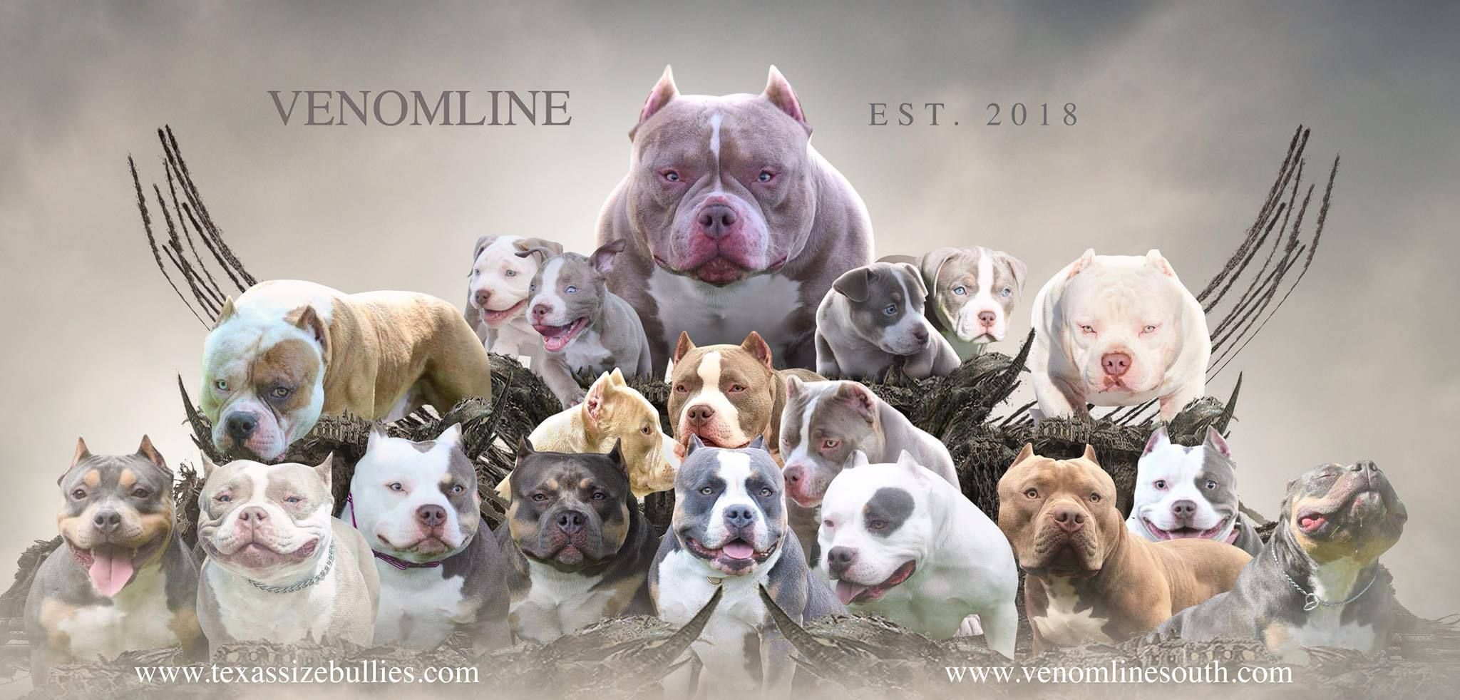 CHOOSING A STUD: SHOW DOGS & STUD DOGS IN THE AMERICAN BULLY