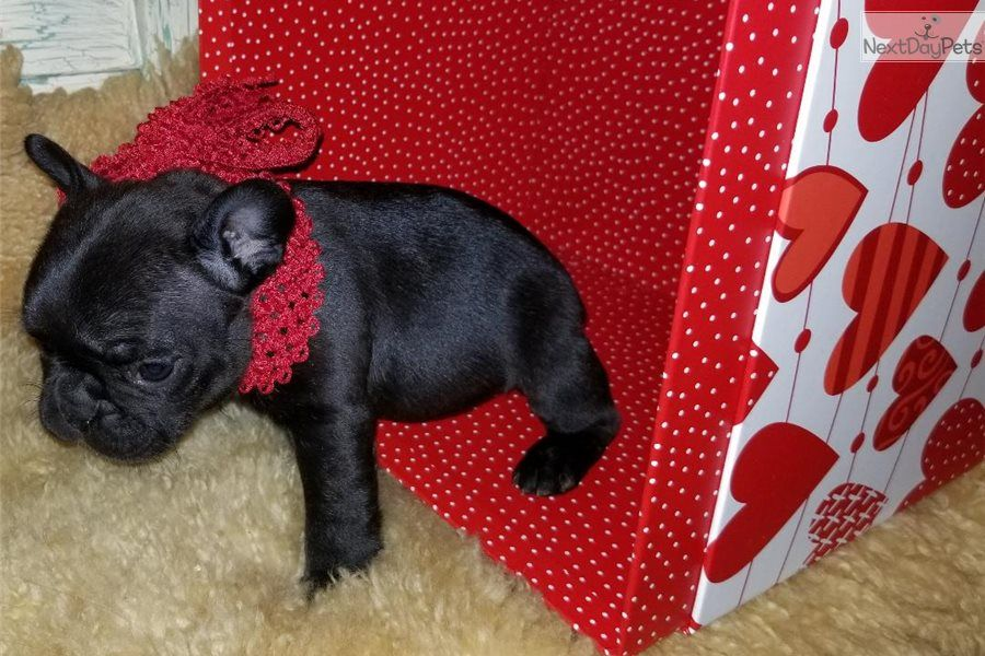French Bulldog Puppy, from Cross Timbers Frenchies Aspen
