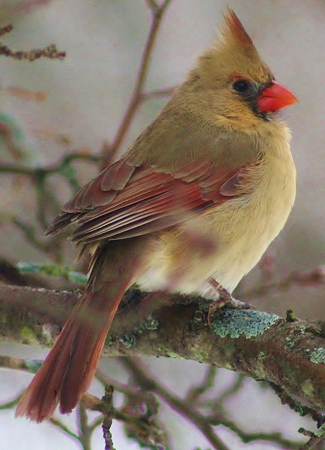 Female Cardinal By Bruce Bley Pajaros Cardenales Aves Pajaros Y