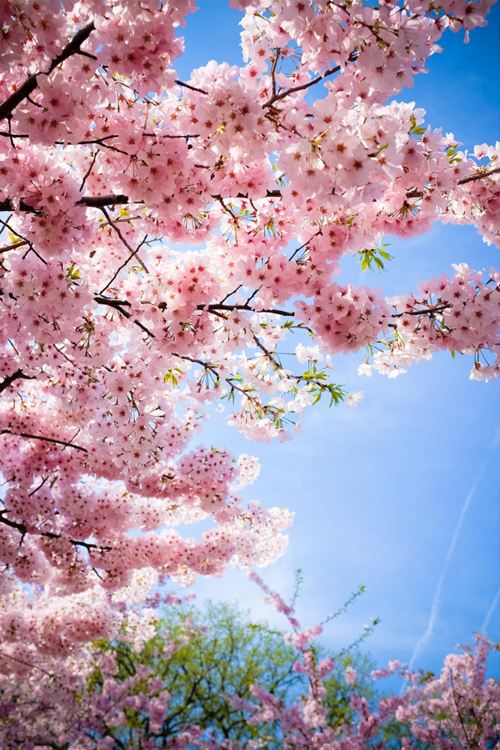 Cherry Blossoms Via Tumblr Blossom Trees Cherry Blossom Wallpaper Sakura Tree