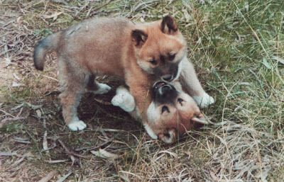 Dingo Lady: So, You Want to Own a Dingo by Berenice Walters. P...