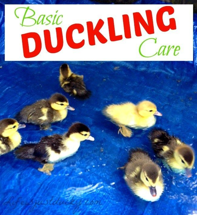 How To Take Care Of Baby Ducklings