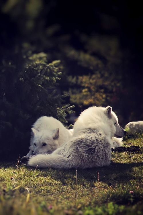 sisterofthewolves: Picture by Bronwyn Arctic wolves (Canis...