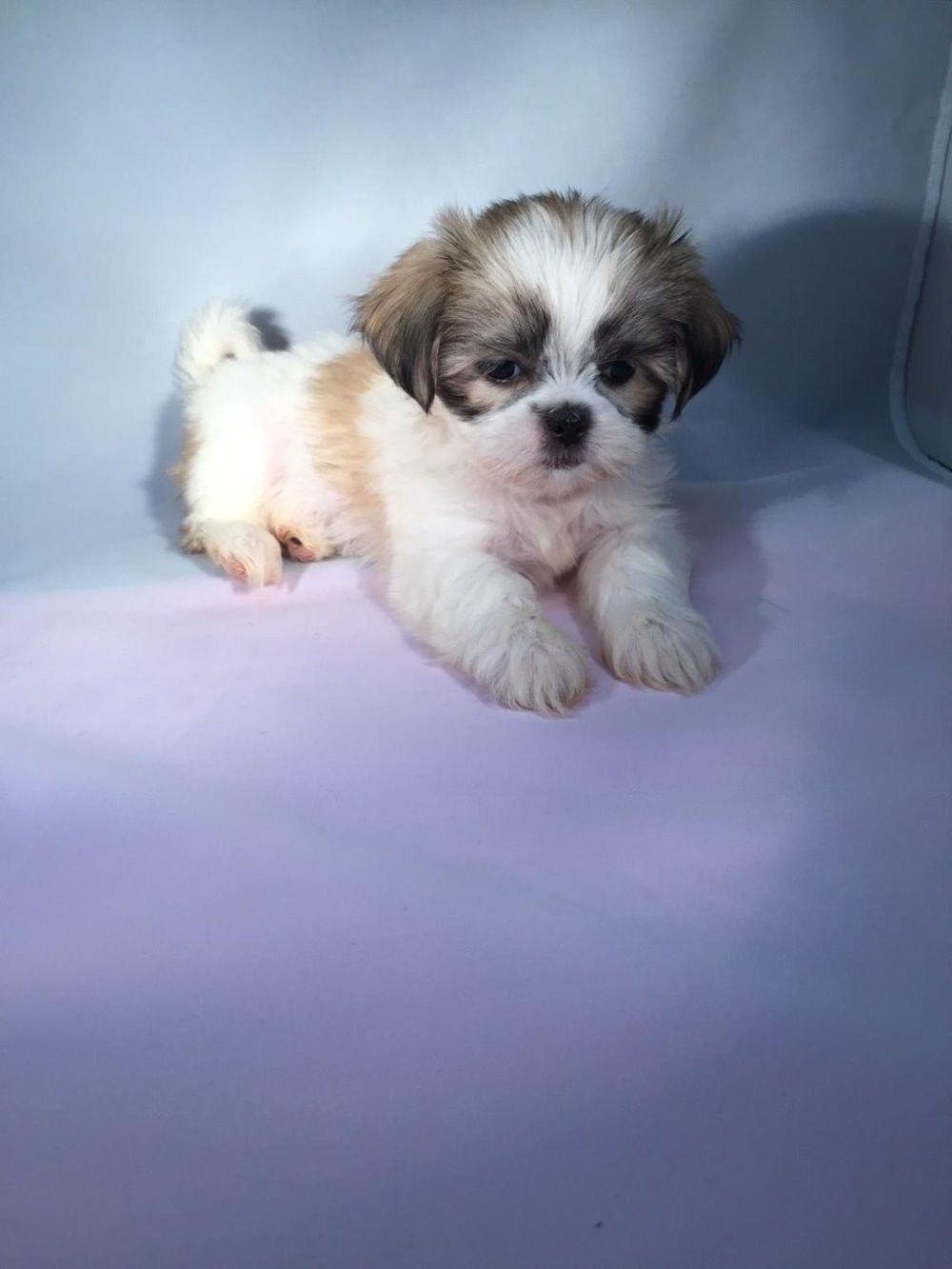 Nyc Shih Tzu Photos Shih Tzu Baby Shih Tzu Shih Tzu Puppy