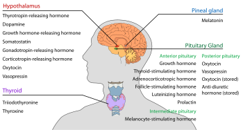Endocrine gland wikipedia the free encyclopedia thyroid pinterest endocrine gland wikipedia the free encyclopedia ccuart Image collections