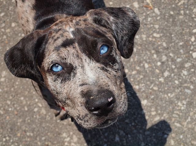 Old Blue Eyes Is Back Leopard Dog Catahoula Leopard Dog Louisiana Catahoula Leopard Dog