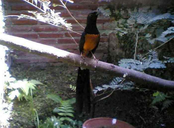 Gejala Snot Pada Murai Batu Dan Cara Jitu Mengatasinya Burung Jalak