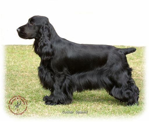 English Cocker Spaniel Classic Look Trim Perro Coker Perros