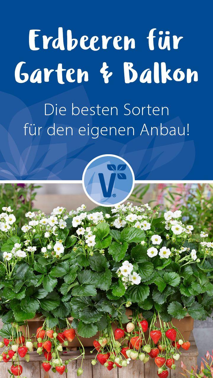 Photo of Erdbeeren für Garten & Balkon