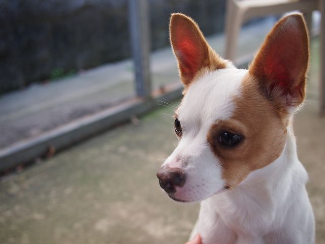 rinnande ögon chihuahua
