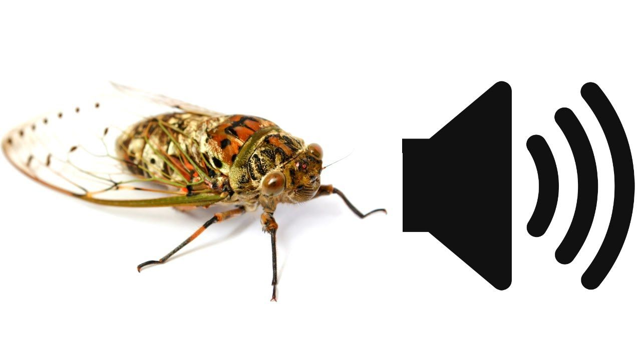 Cicada sound effect insect noise sfx sound effects
