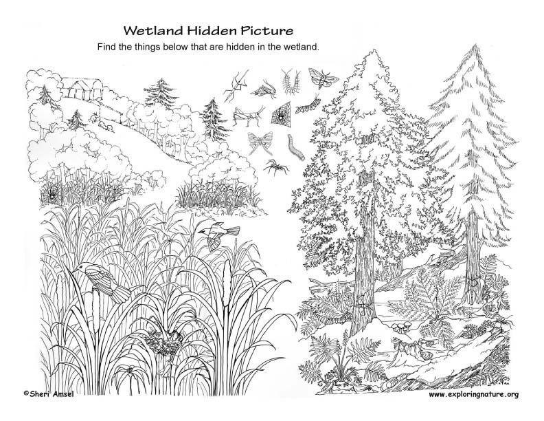 Wetlands Hidden Picture PDF http//www.exploringnature