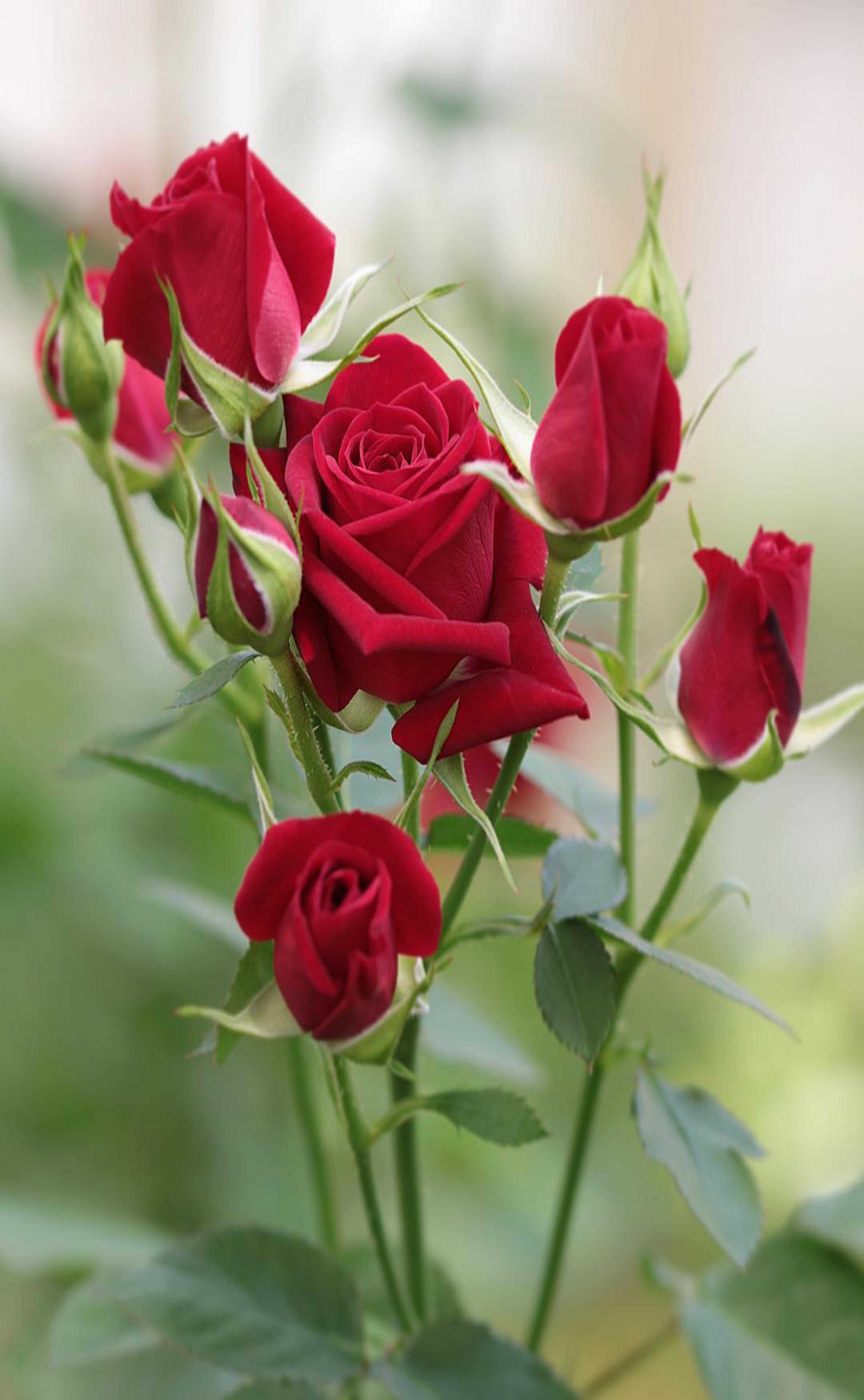 Pin by ivanka kostova on растения Beautiful rose flowers