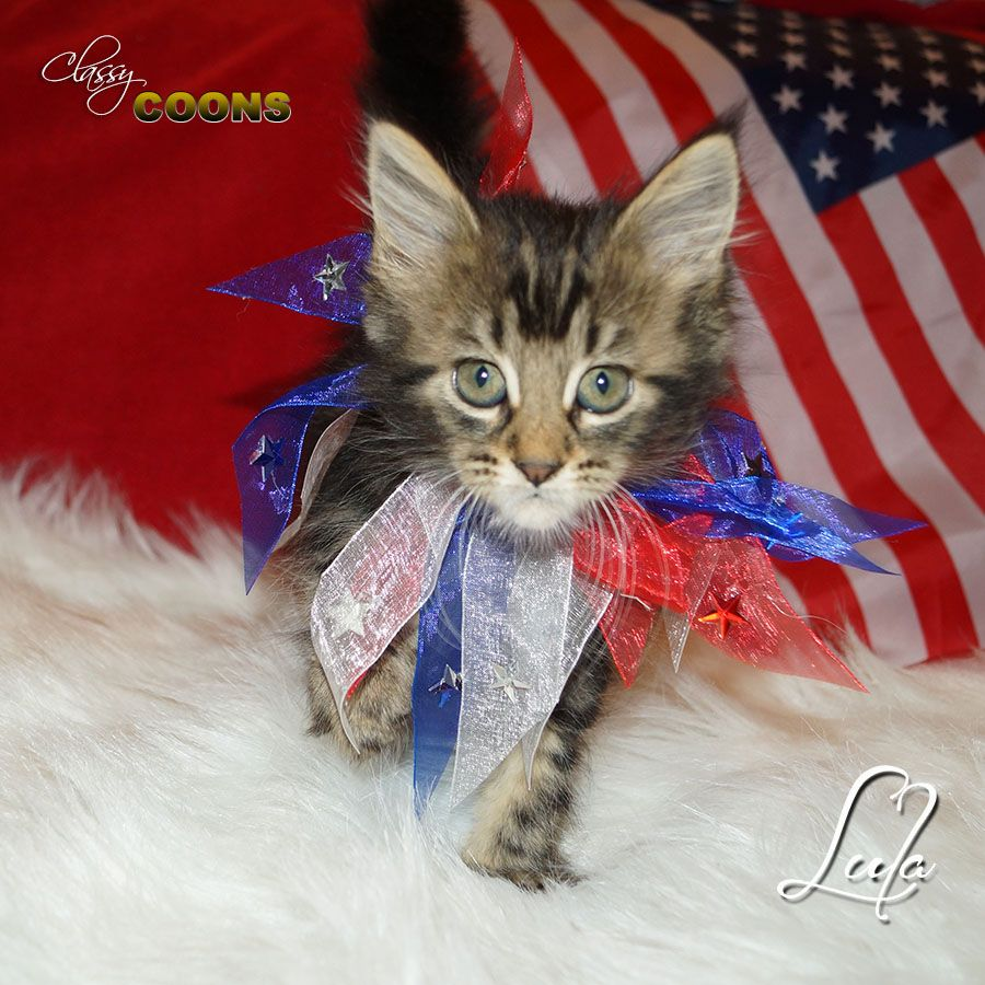 Black Maine Coon Kittens For Sale Uk