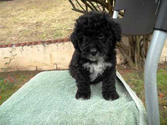 black maltese poodle puppies Zoe Fans Blog Cute Baby