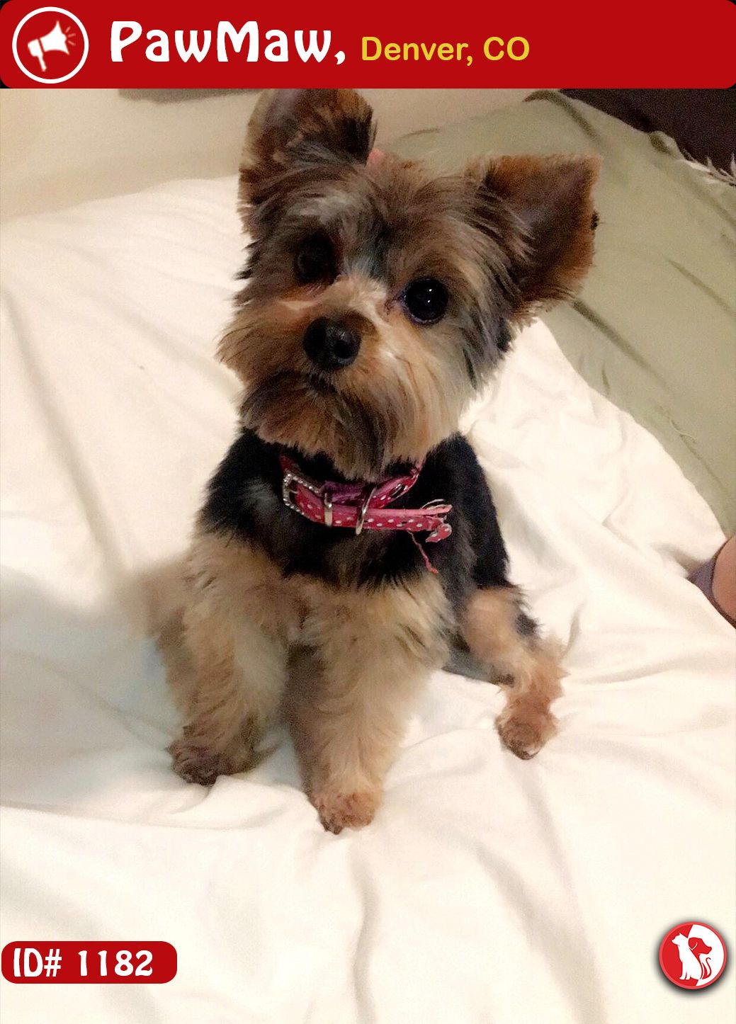 Species Dog Color Black Gold Gender Unknown Breed Yorkshire Terrier Pet Description She S Very Small Weights About 4 Lbs S Losing A Dog Pets Losing A Pet