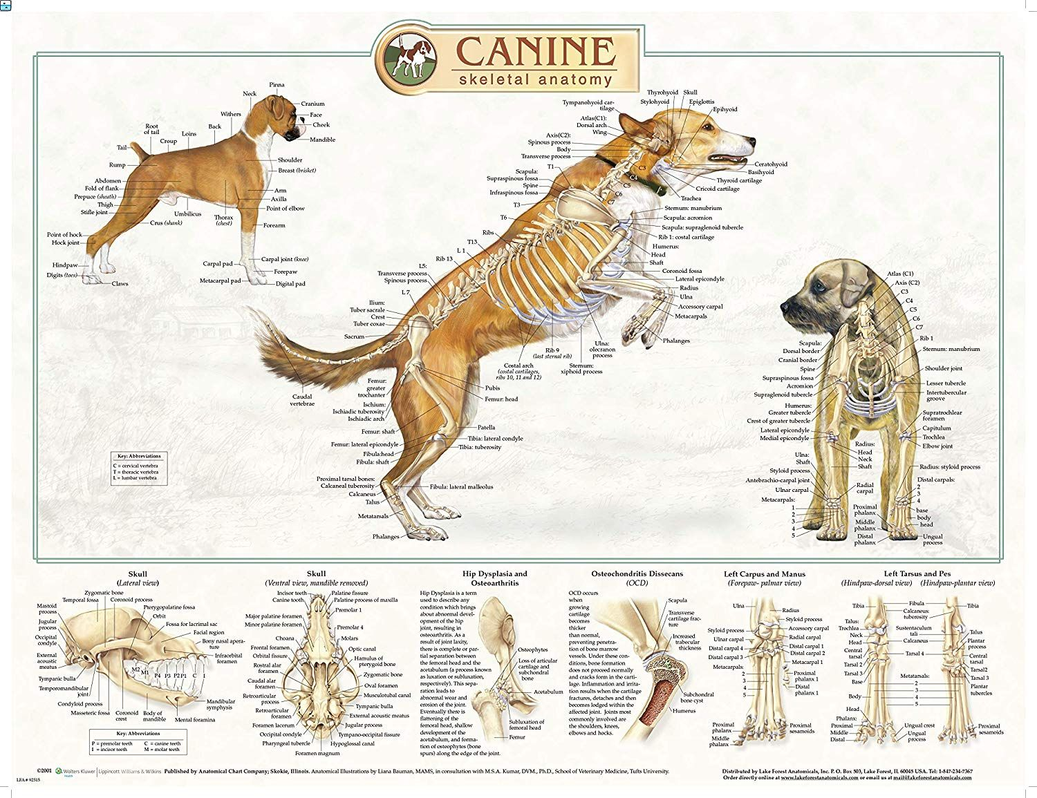 Pin By Art By Gabe On Anatomy Study Creature