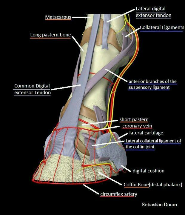 Horse lower limb | Horse Health and General Knowledge | Pinterest ...