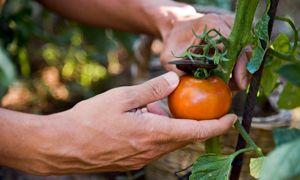Hortensien vermehren | selbst.de
