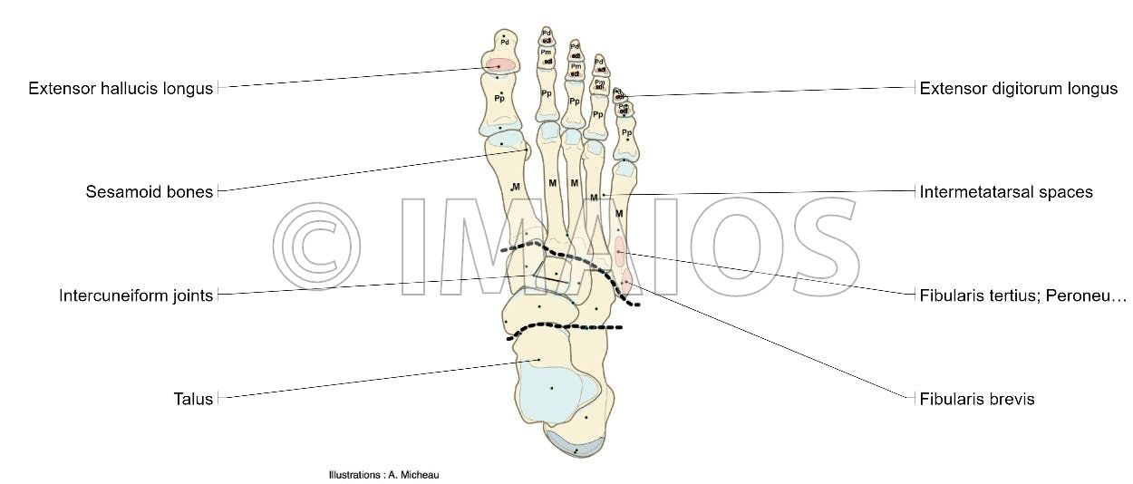 Dorsum of foot - Anatomy : Bones; Skeletal system, Joints of foot ...