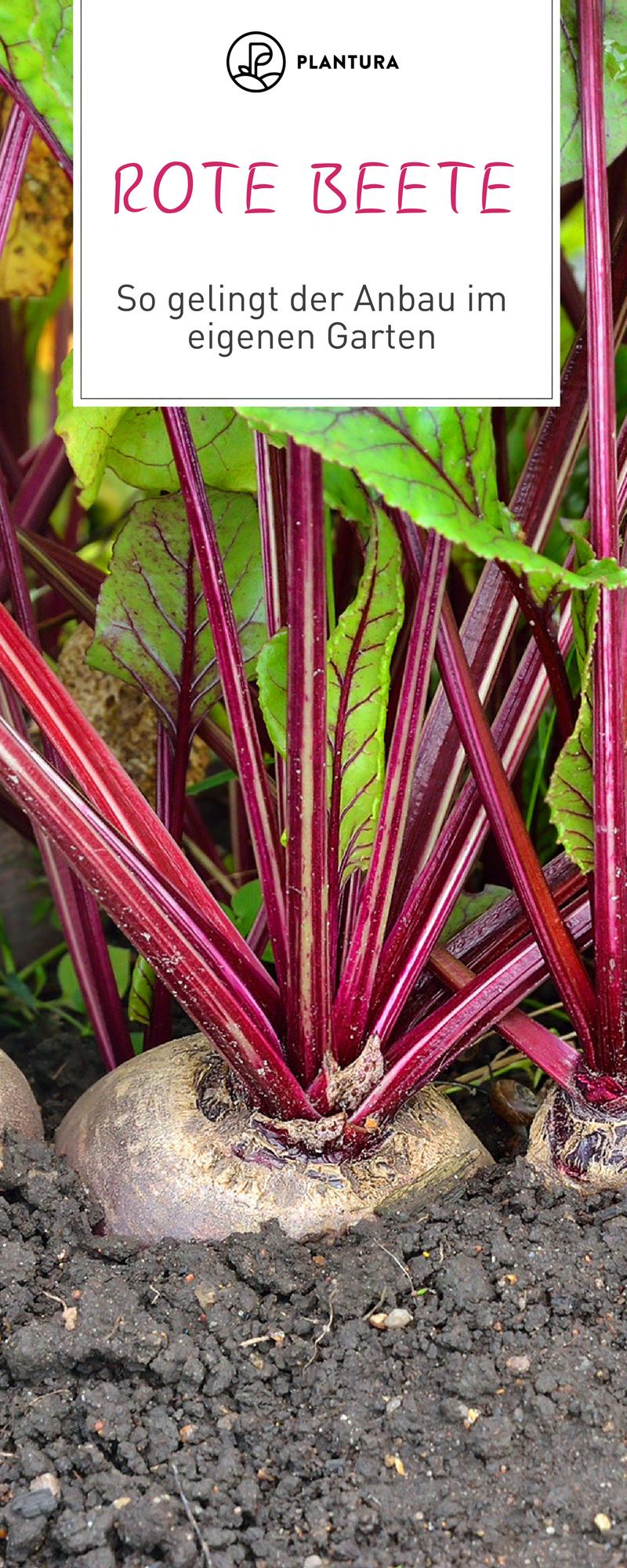 Rote Bete im Portrait: Die gesunde Rübe aus dem eigenen Garten - Plantura