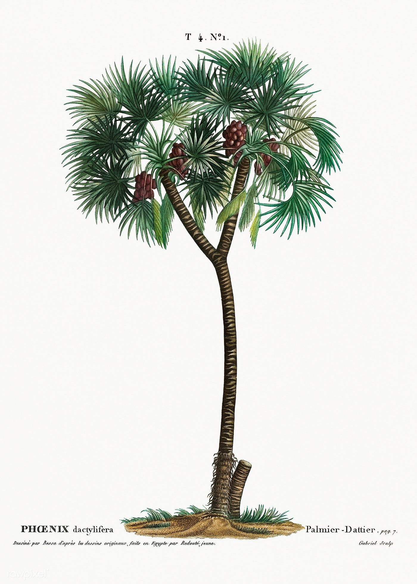 Date palm (Phoenix dactylifera) from Traité des Arbres et ...
