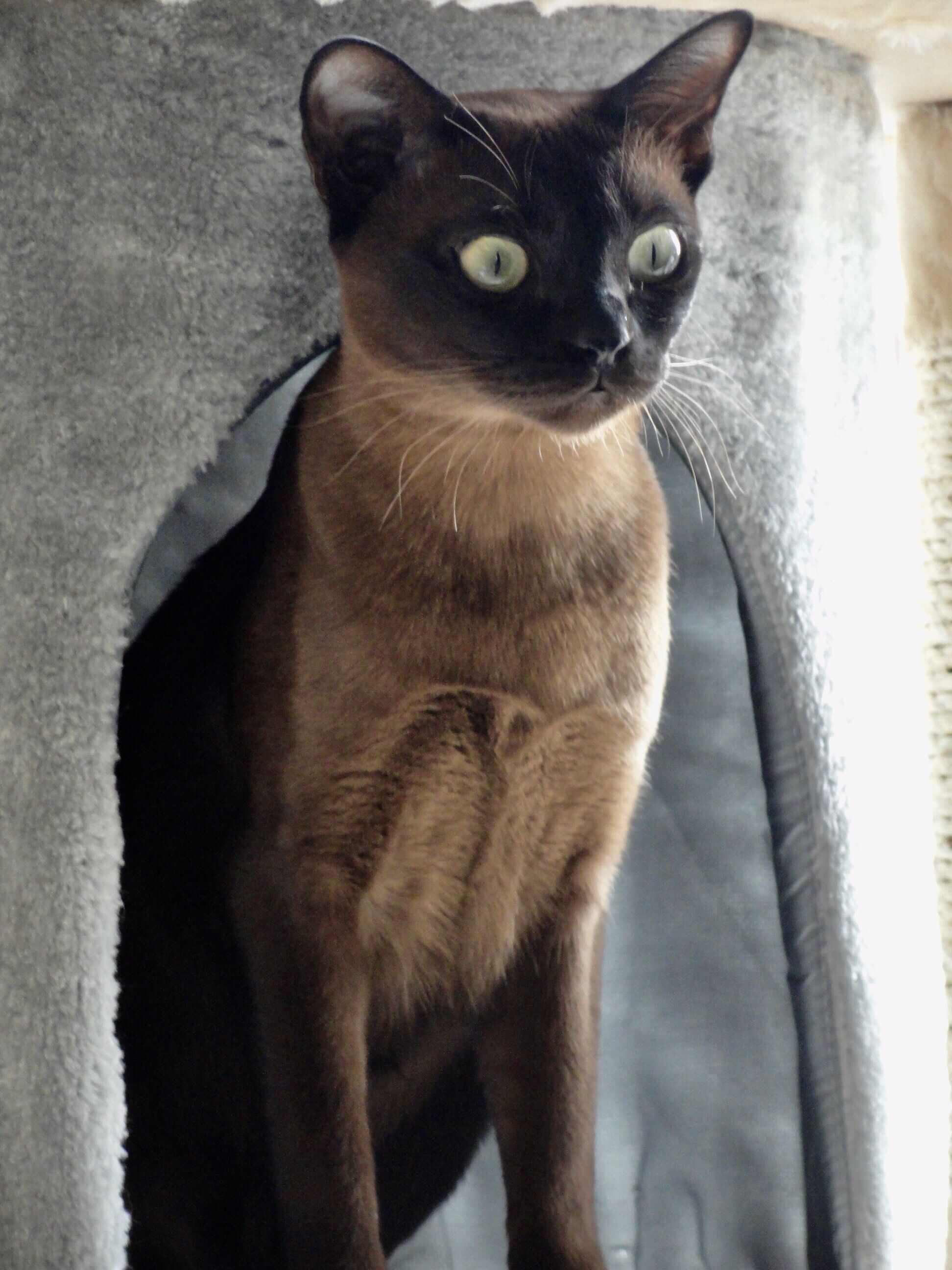 Luna Natural Solid Tonkinese Tonkinese Cat Tonkinese Beautiful Cats