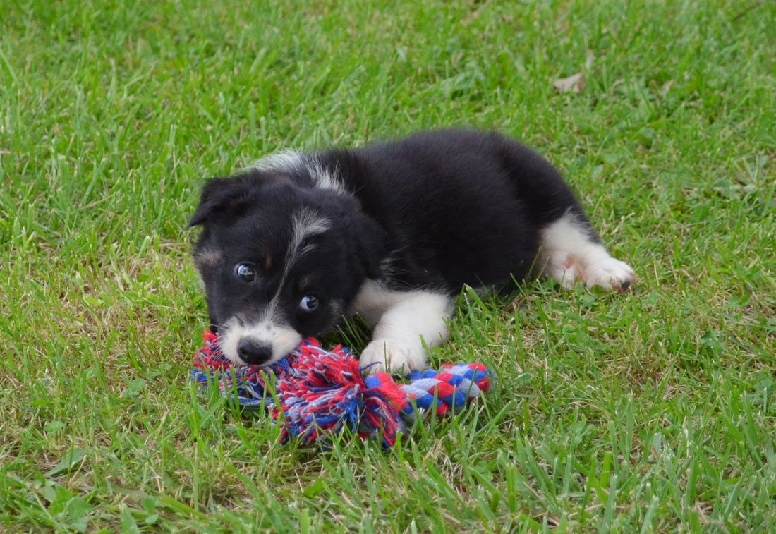A Border Collie Puppy Playing With Her Rope Toy Border Collie