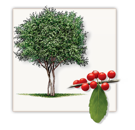Tree youpon holly httpfannintreefarm friscoe tx fannin yaupon holly trees are not the same as other trees found at other dallas area tree farms and are grown at our north texas yaupon holly tree farm sciox Choice Image