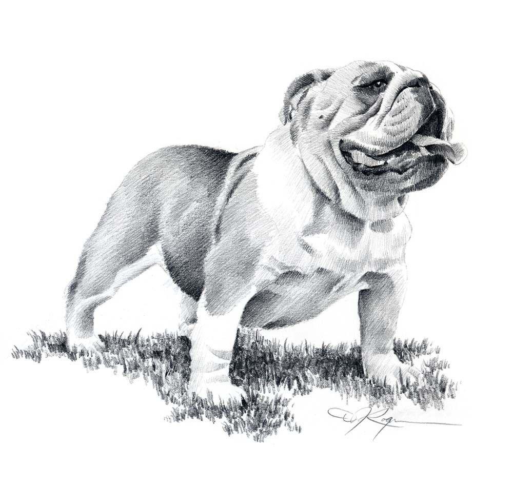 Uncategorized Bull Dog Drawing bulldog pencil drawing art print signed by artist dj rogers rogers