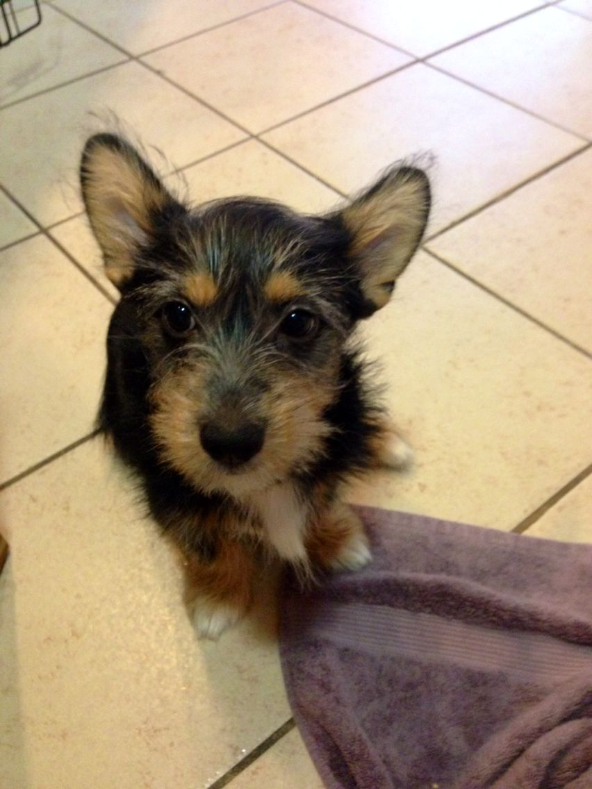 Corgi-Yorkie mix puppy