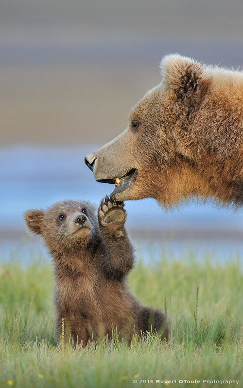 Brown bear facts: Top 10 - The Adventures of Kiara Yew