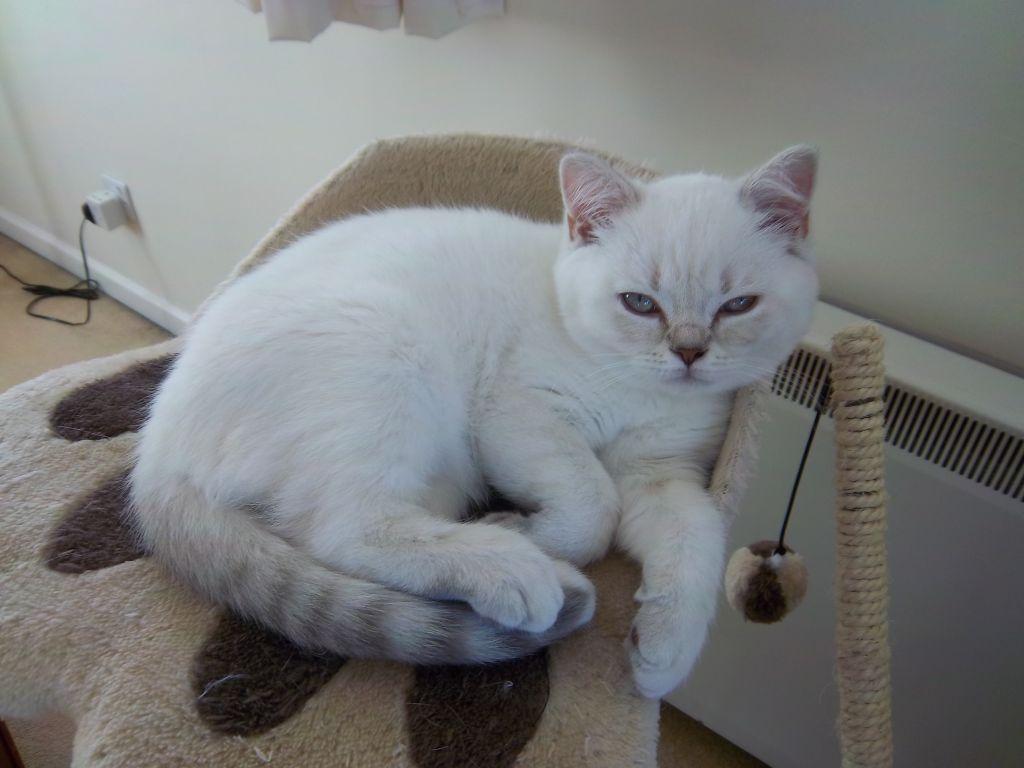 British Shorthair Lilac Tabby British Shorthair British