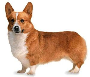 Korki Still Lives In My Heart Corgi Dogs Pembroke Welsh Corgi