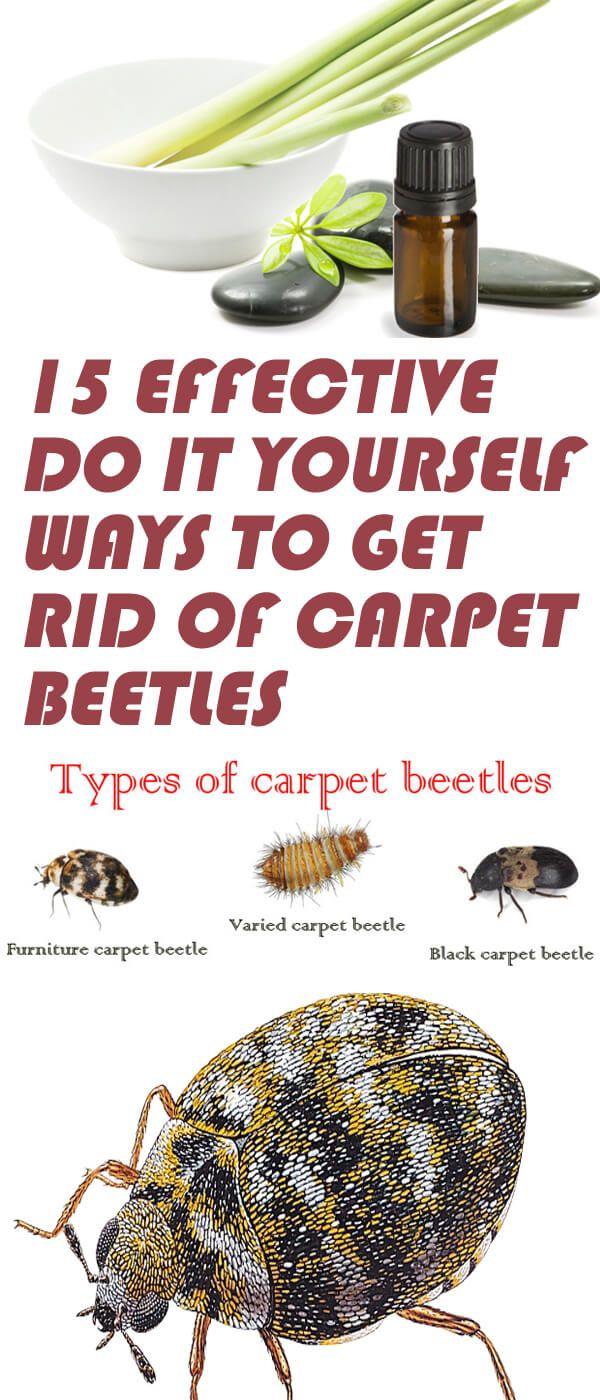 15 Best Ways To Get Rid Of Carpet Beetles Naturally Carpet Beetle Spray Beetle Insect Spray