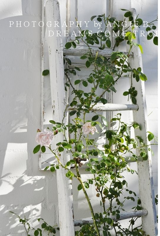 Climbing Rose Trellis Ideas Part - 44: Old Ladder For Climbing Rose Trellis