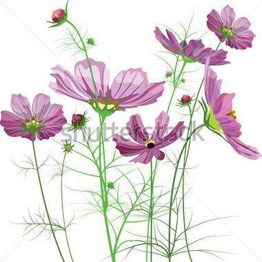 Vector Garden Flowers, Cosmos Bipinnatus stock vector - Clipart.me