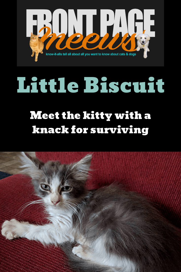Little Biscuit The Story Of A Kitten Who Thrived Despite A Rough Start To Life Pet News Tabby Kitten Kitten
