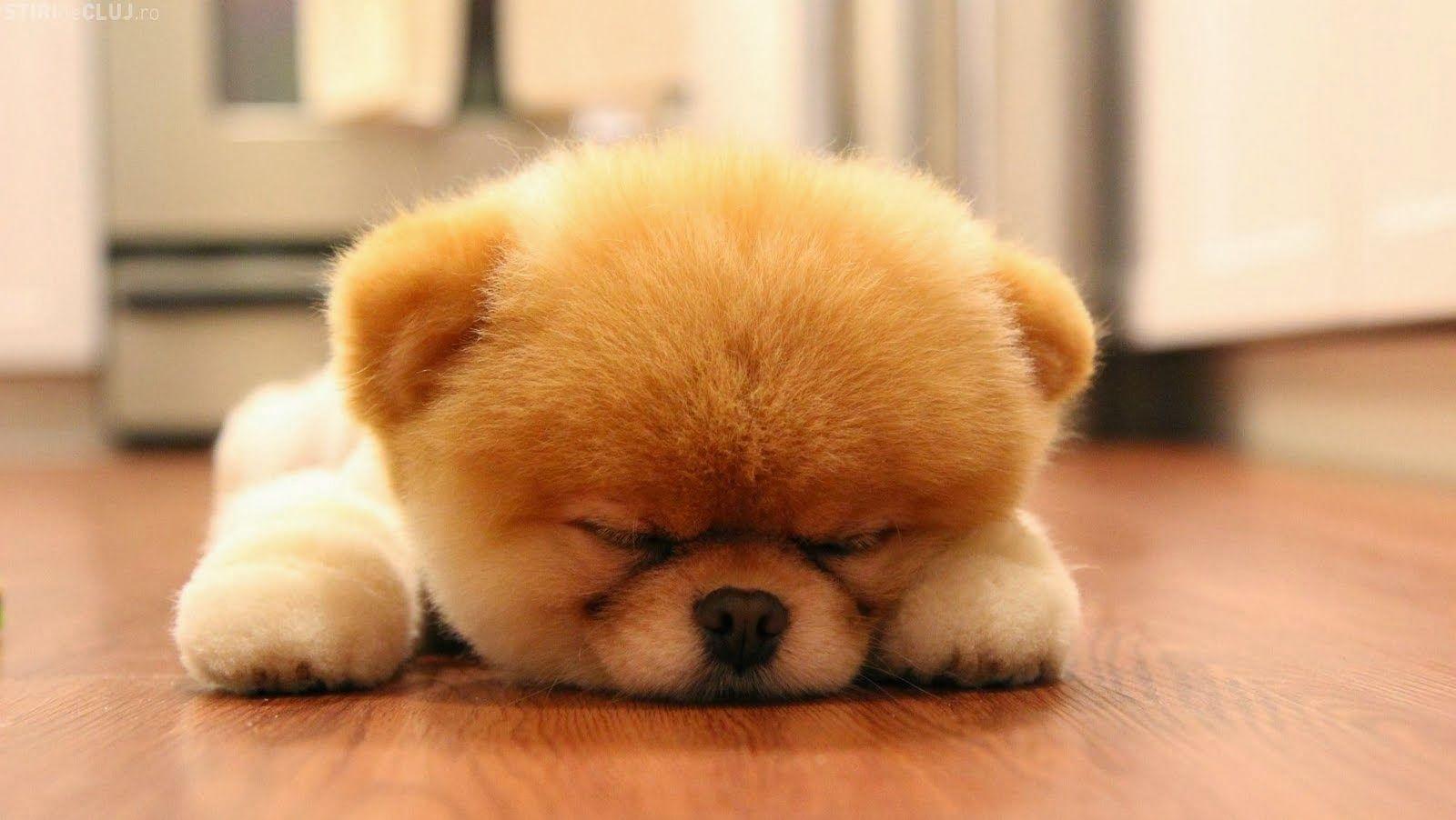 Download Samoyed Chubby Adorable Dog - 3da0c9bca2631caf81911d2c1c138213  Pic_201079  .jpg