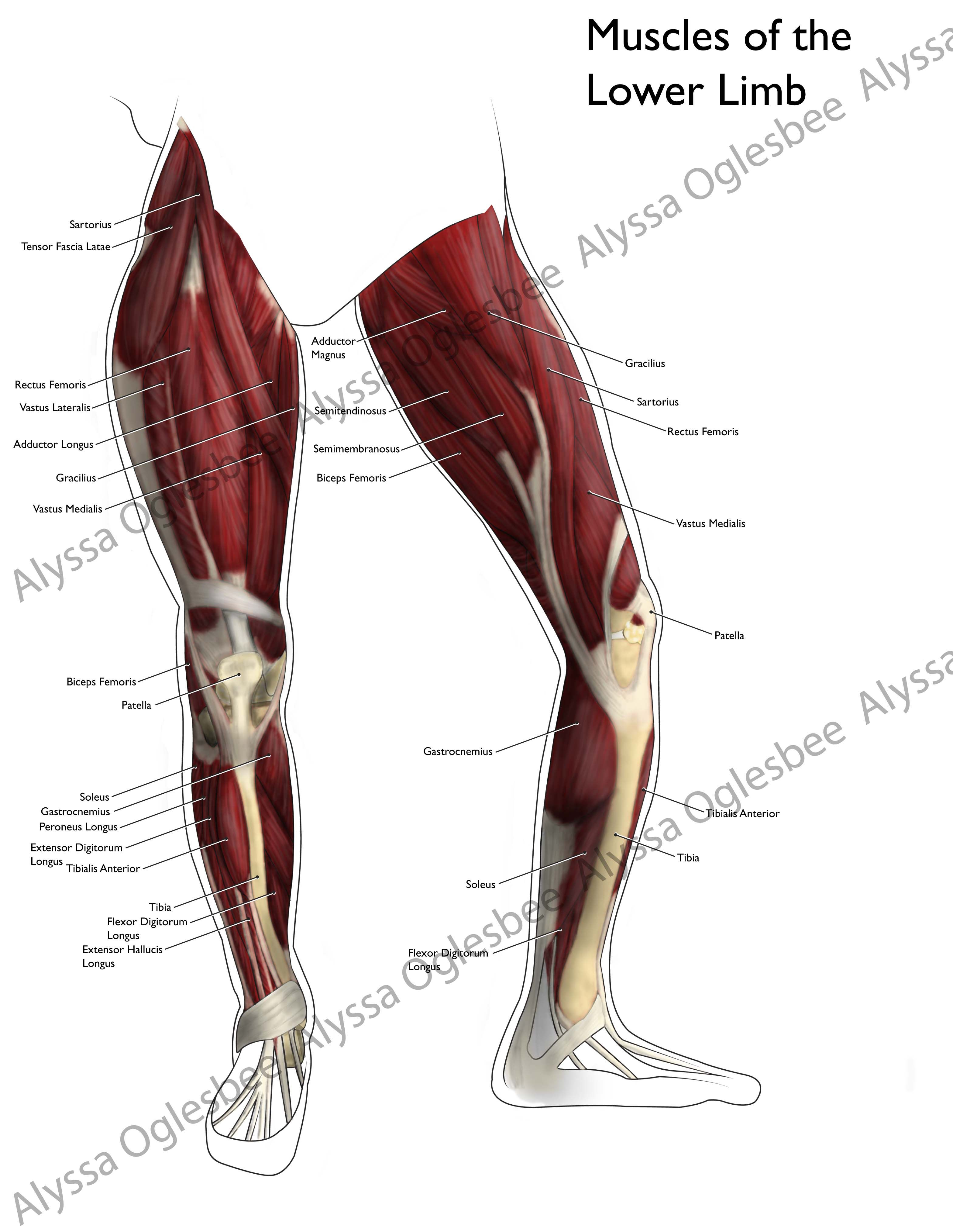 Muscles Of The Lower Limb Muscles Of The Lower Limb Myfolio Feet