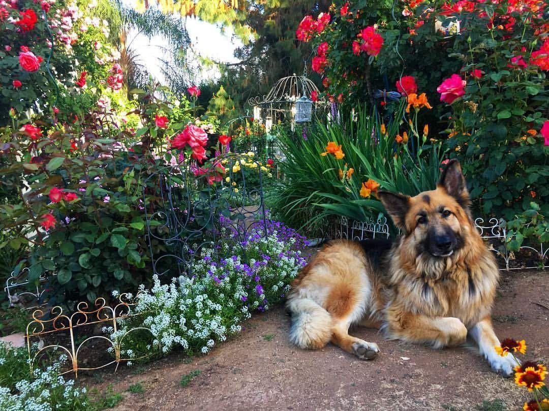 Quince In My Garden German Shepherd Doggy Dogs