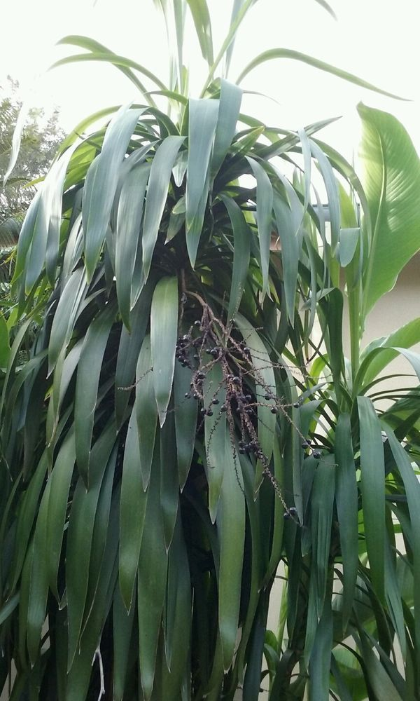 Cordyline Stricta Narrow Leaved Palm Lily 15 Seeds Australian Rainforest Native Australian Garden Design Rainforest Plants Australian Garden